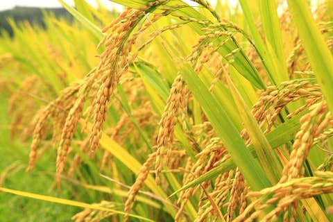 Field Crops Rice Field of Gmo Crops in
