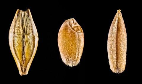 http://www.dreamstime.com/stock-images-macro-wheat-barley-rye-image29462144